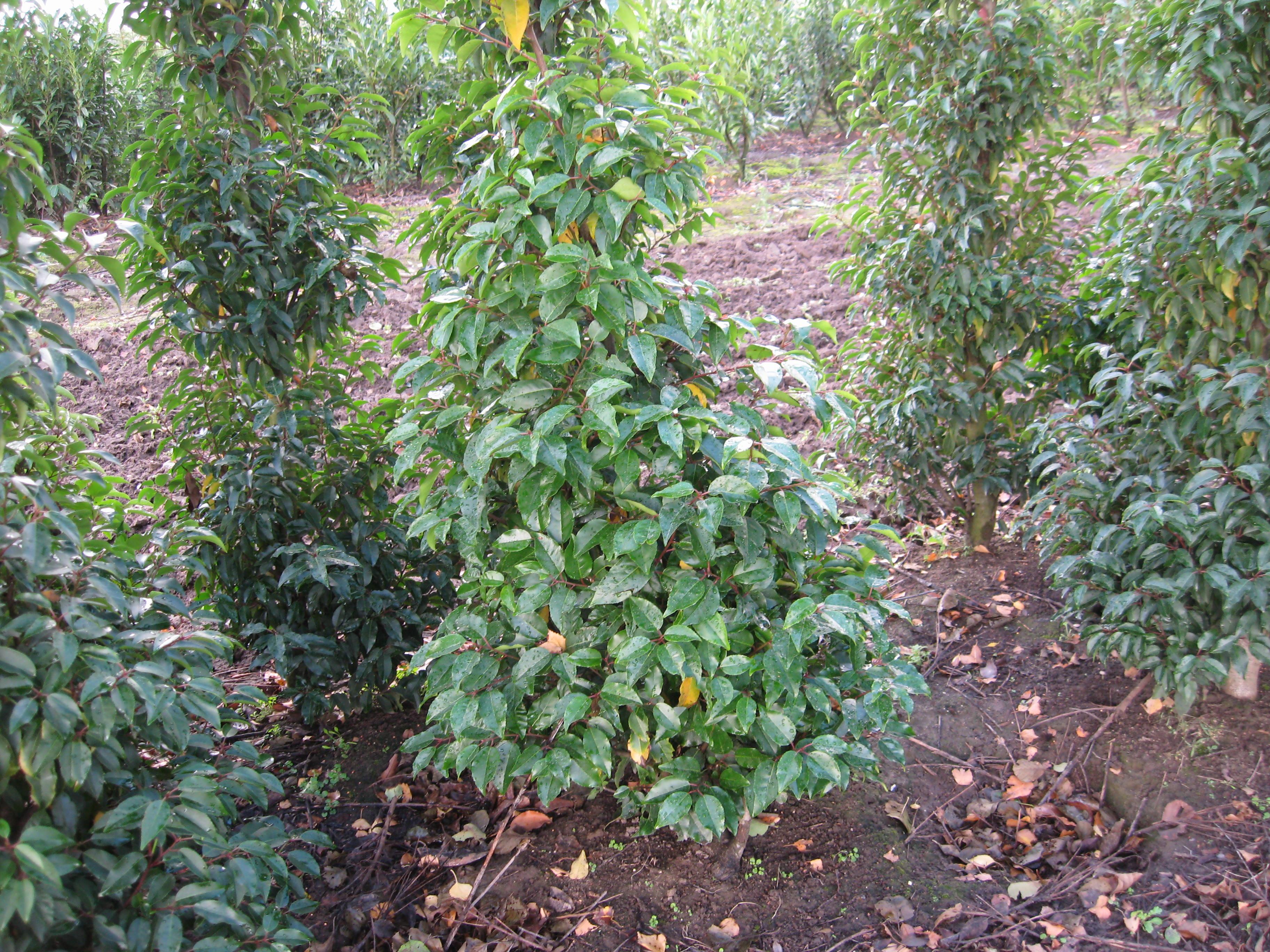 Prunus lucitanica `Augustifolia`